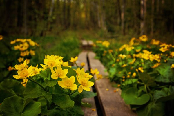 Marsh Marigold flowers on the Lost Lake Trail in the Porcupine Mountains