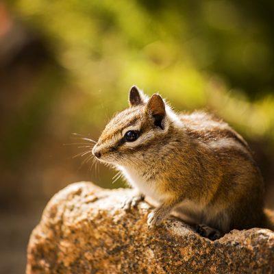 Rocky-Mountain-Chipmunk