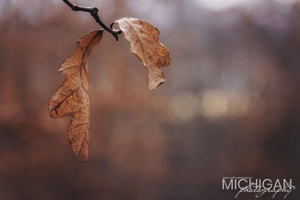 Oak leaves left over from last season and still hanging on!