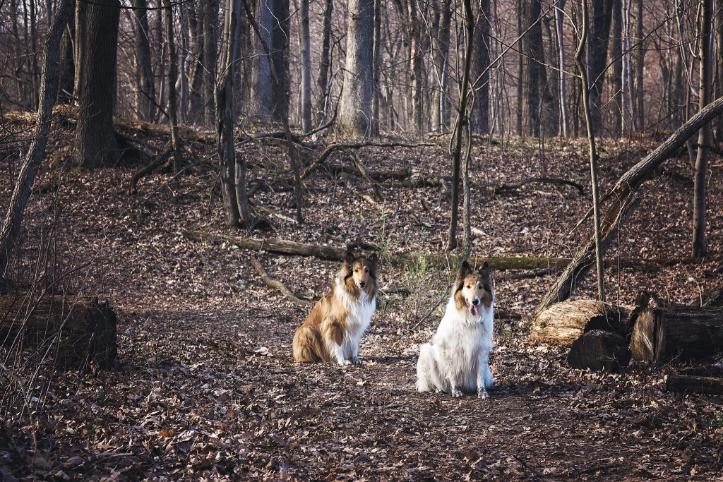 Collie dogs Duncan and Anoush pose for a portrait at Bald Mountain