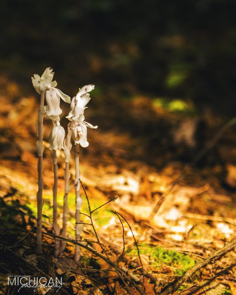 A fresh growth of Indian Pipe found in the Porcupine Mountains