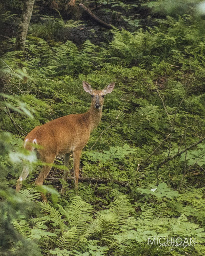 A white tail deer in the Porcupine Mountains