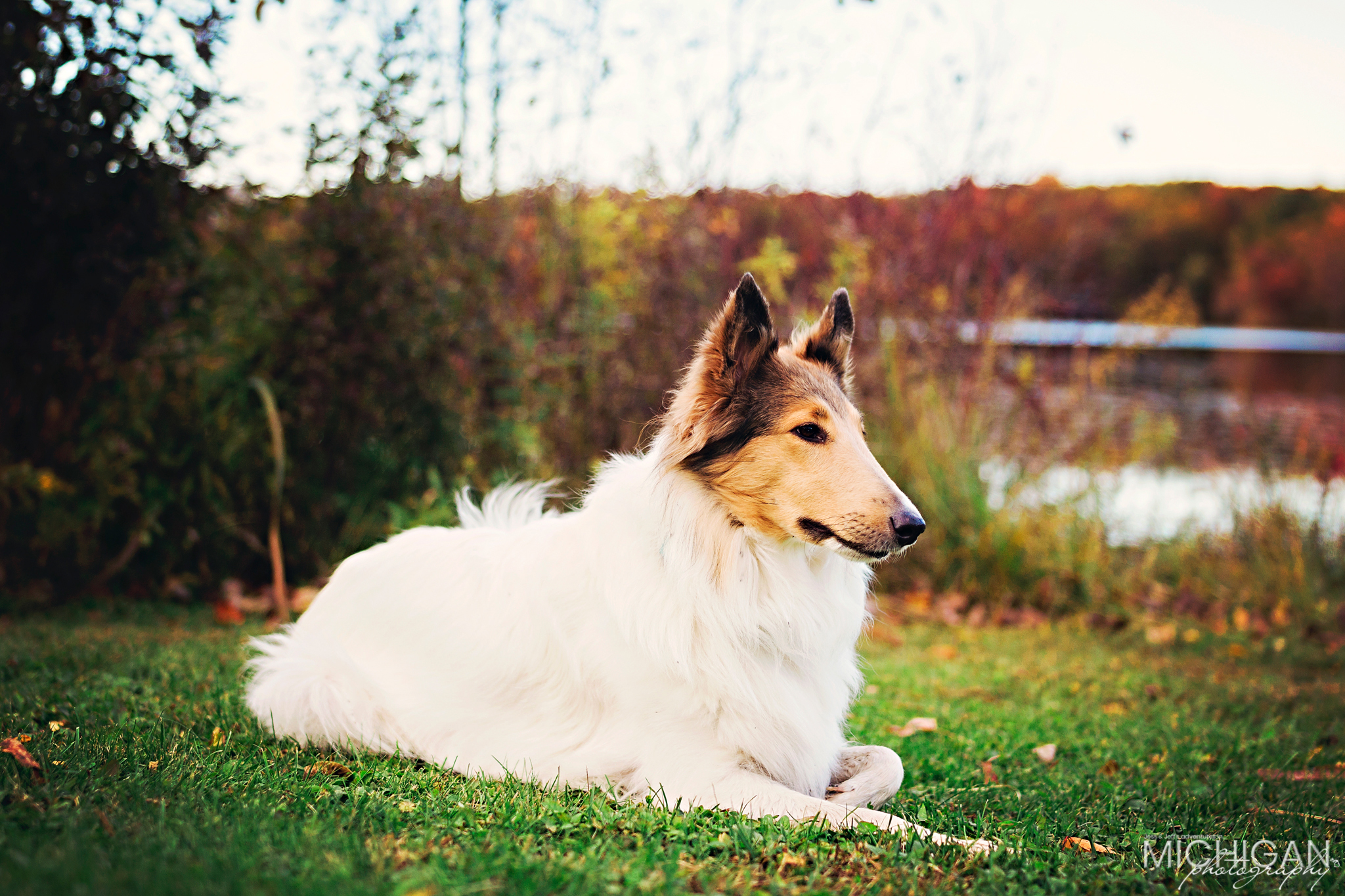 Anoush the collie girl rests near the lake in Holly State Park