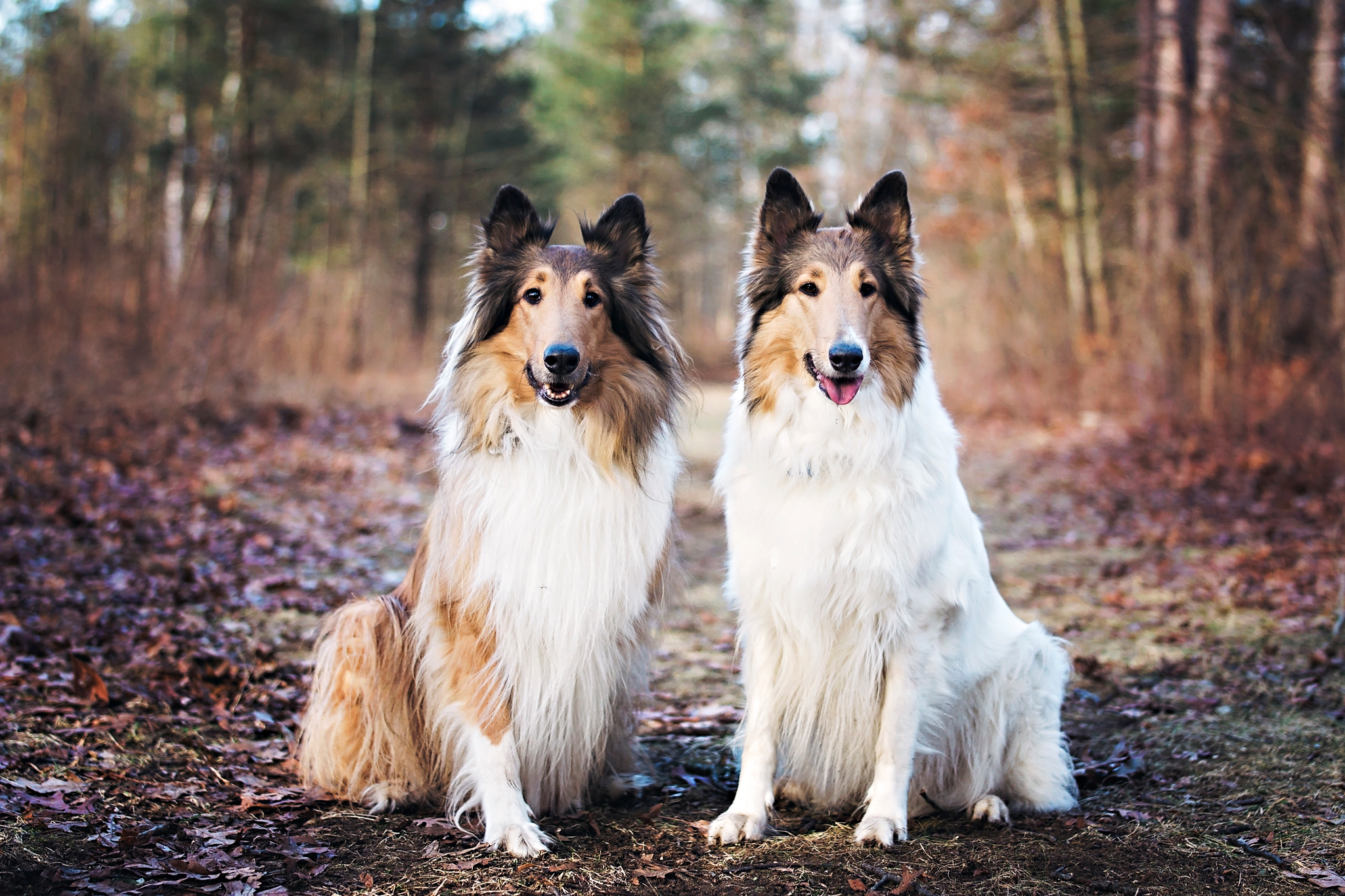 Our Collie Dogs at Crosswinds Marsh