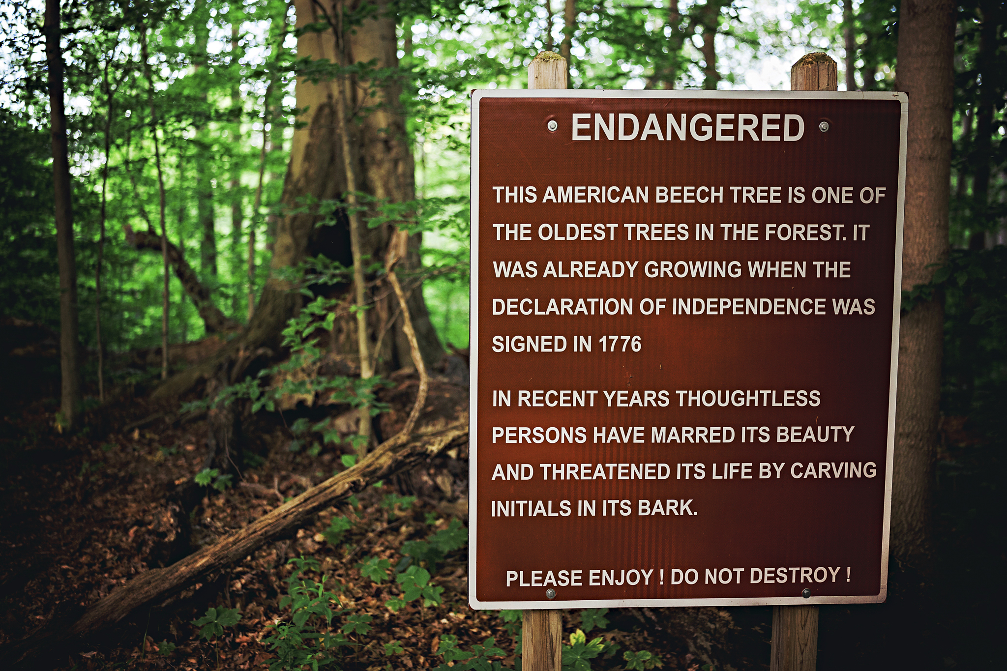 A sign signifying an old Beech tree along the trail
