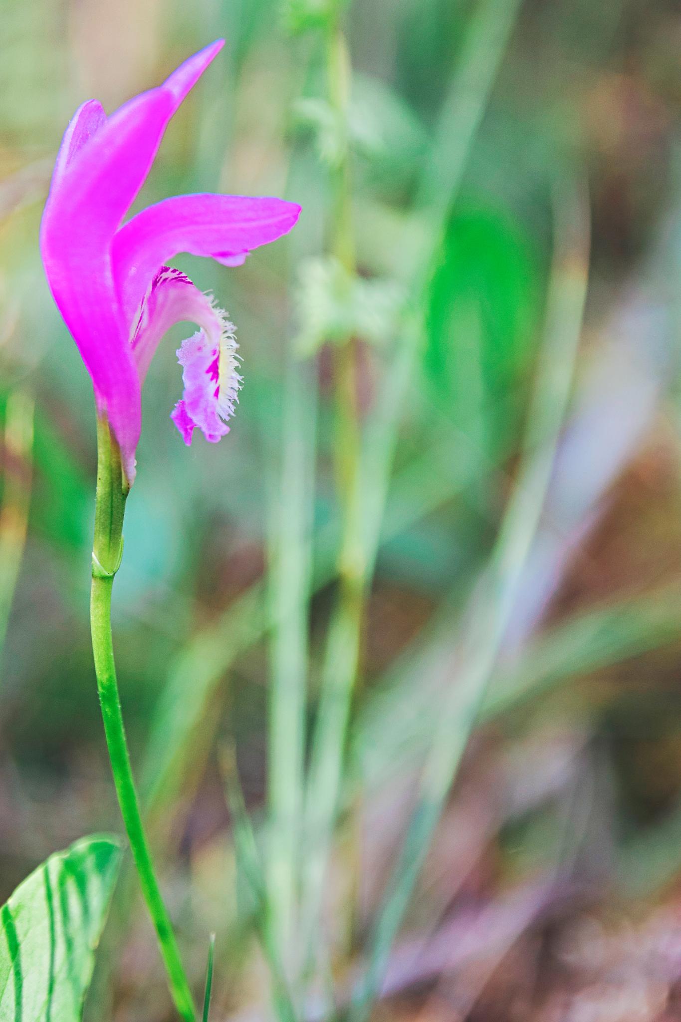 A bog flower in the Waterloo Bog