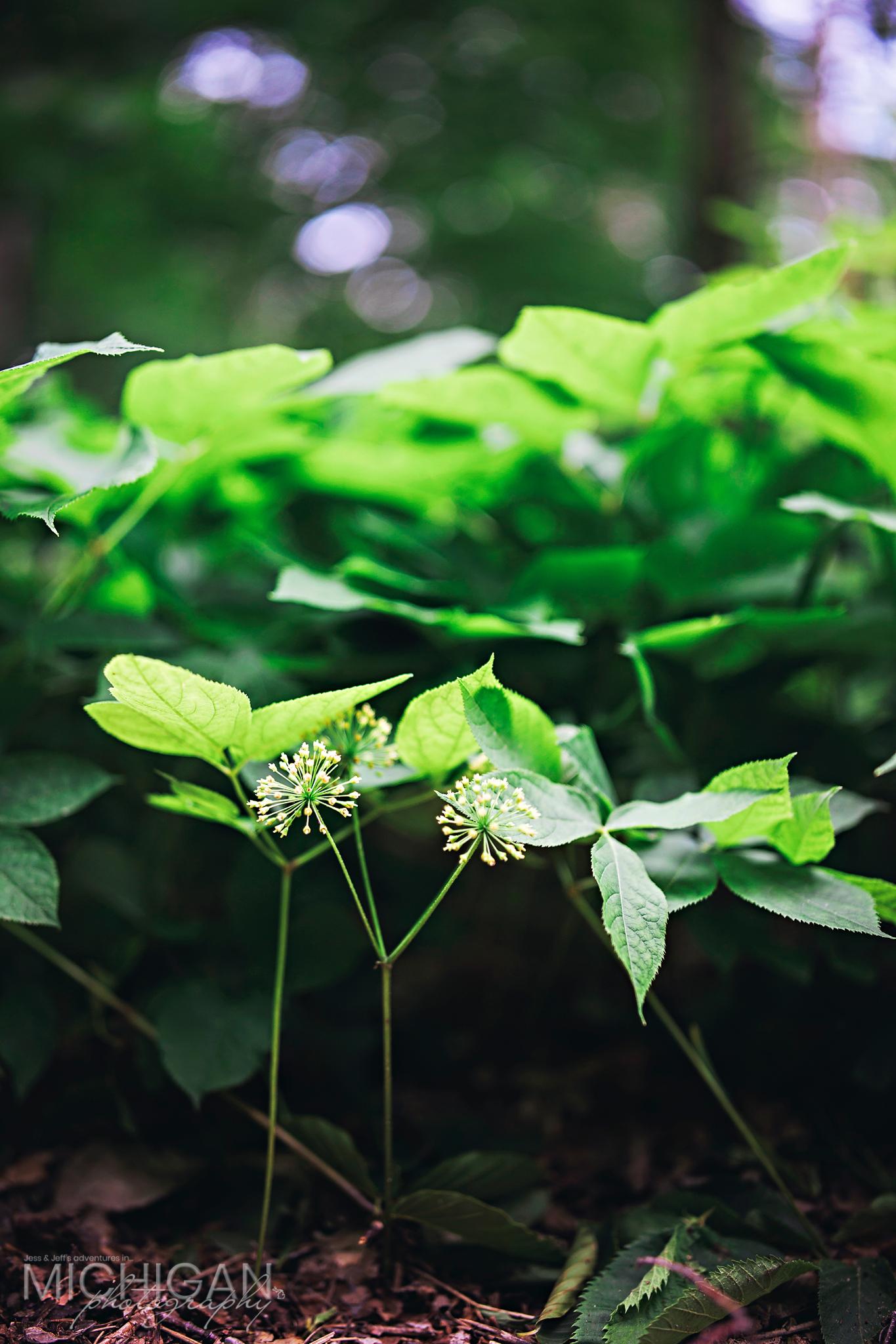 Sarsaparilla Araalia nudicaulis
