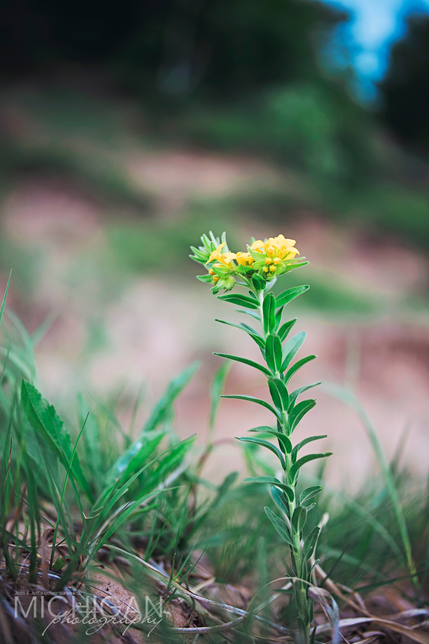 A Yellow Puccoon Lithospermum canescens found on Old Baldy