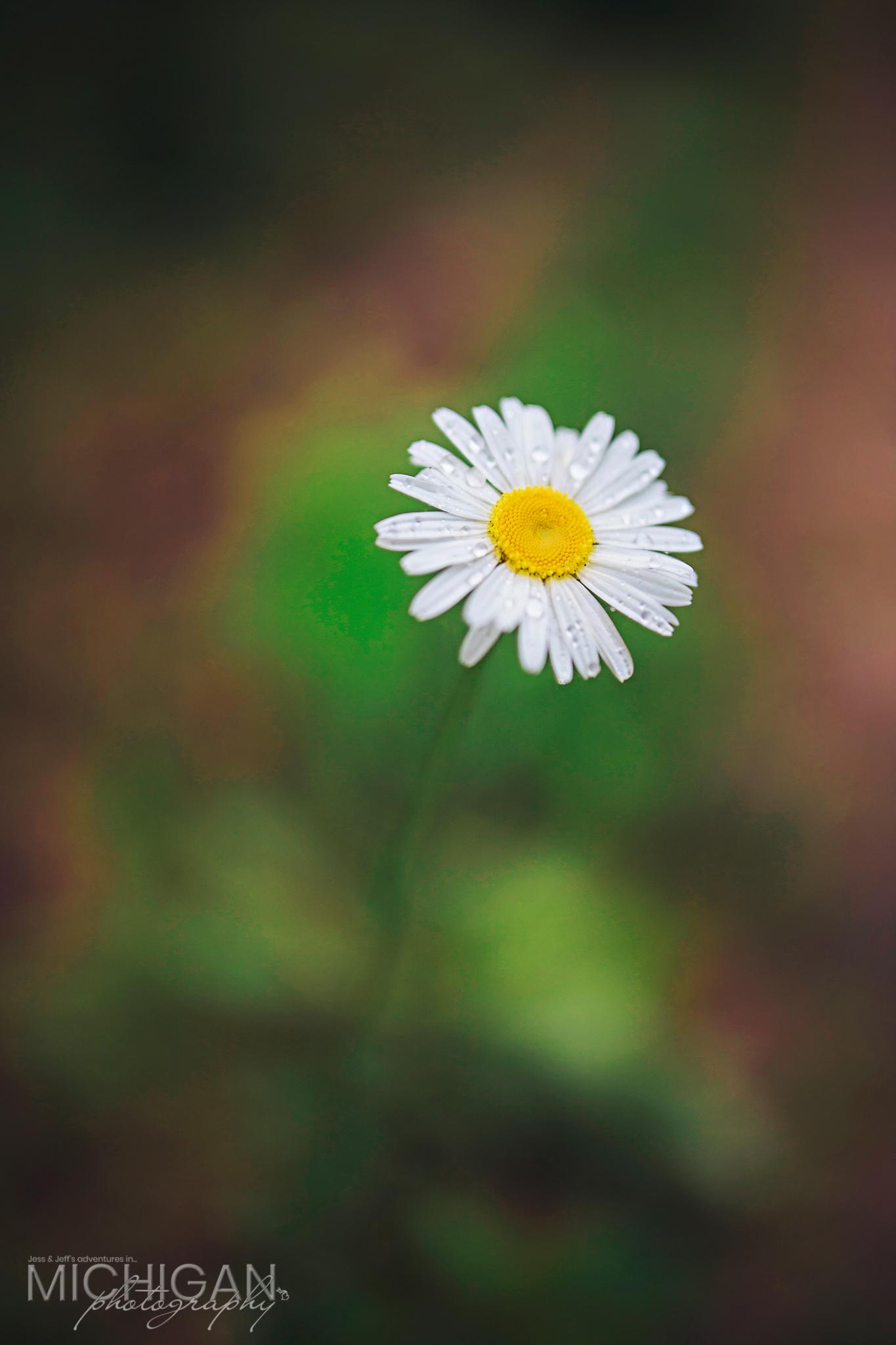 Daisy – Ox-eye Chrysanthemum leucanthemum
