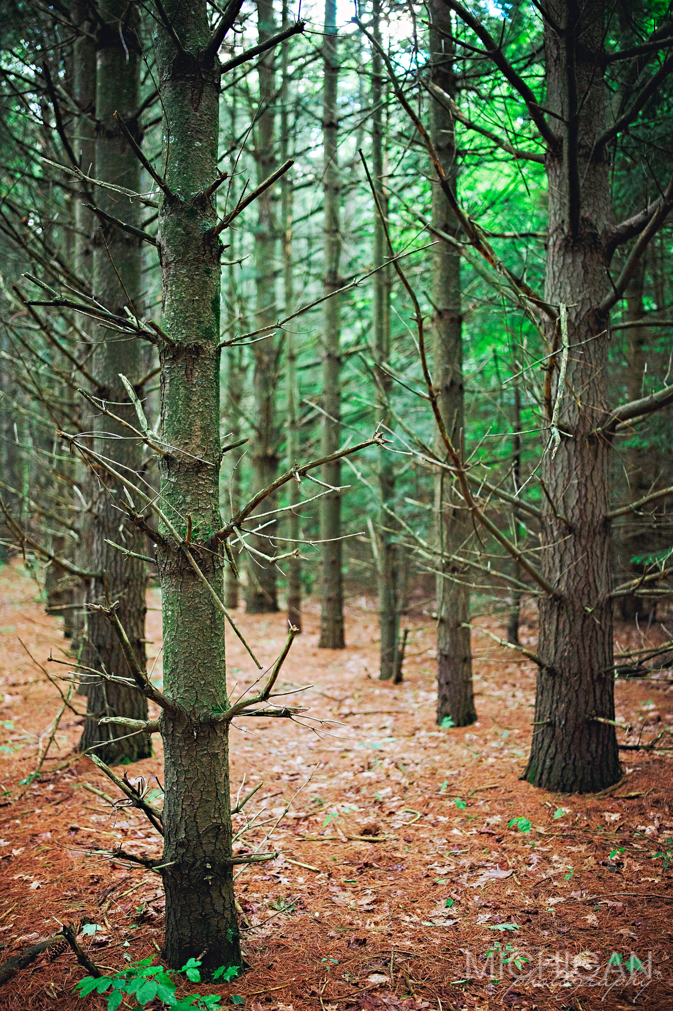 A tract of Pine Trees near the beginning of the Old Baldy Trail.