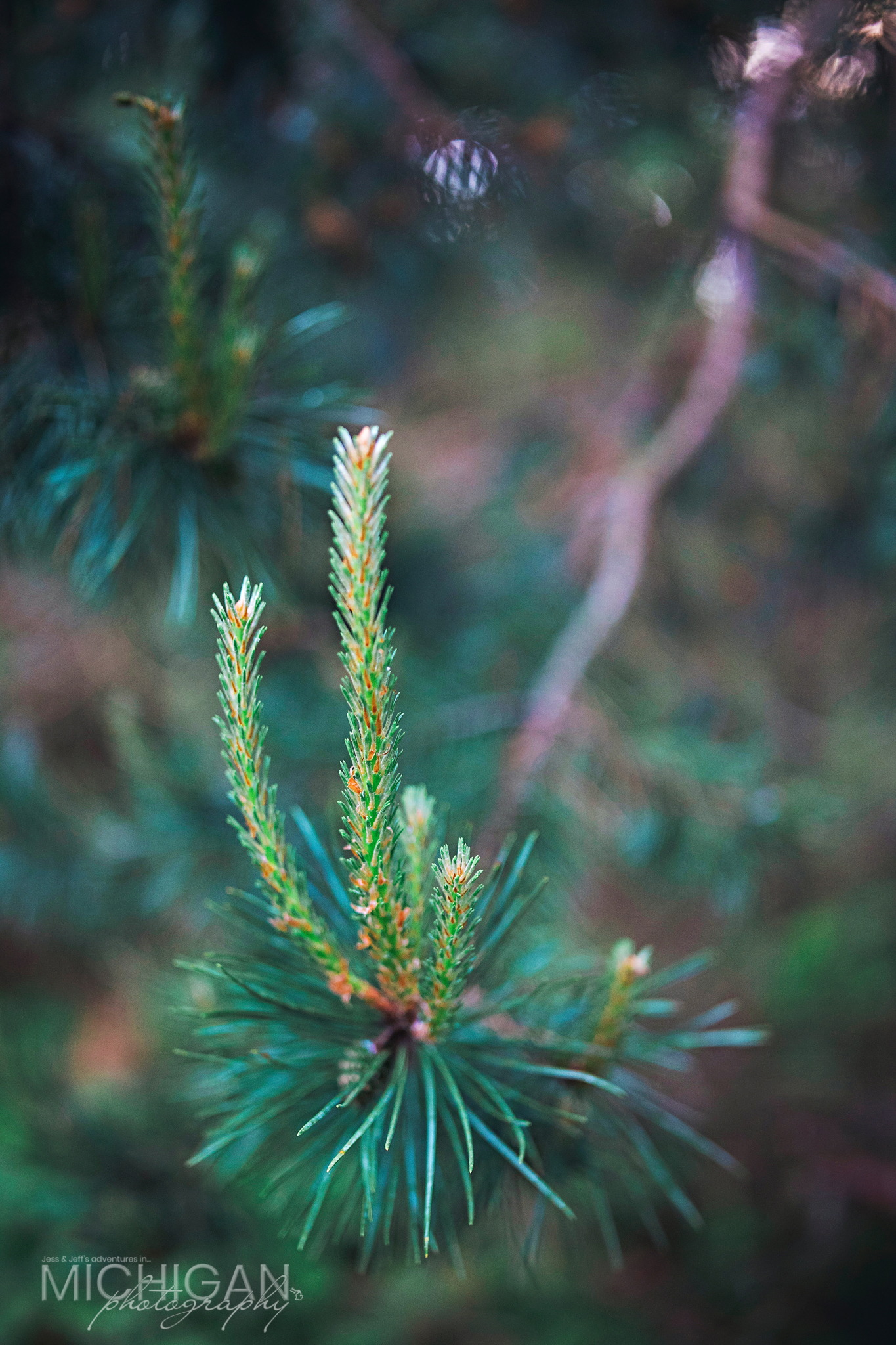 A close up of the pine trees near the entrance of the trail.