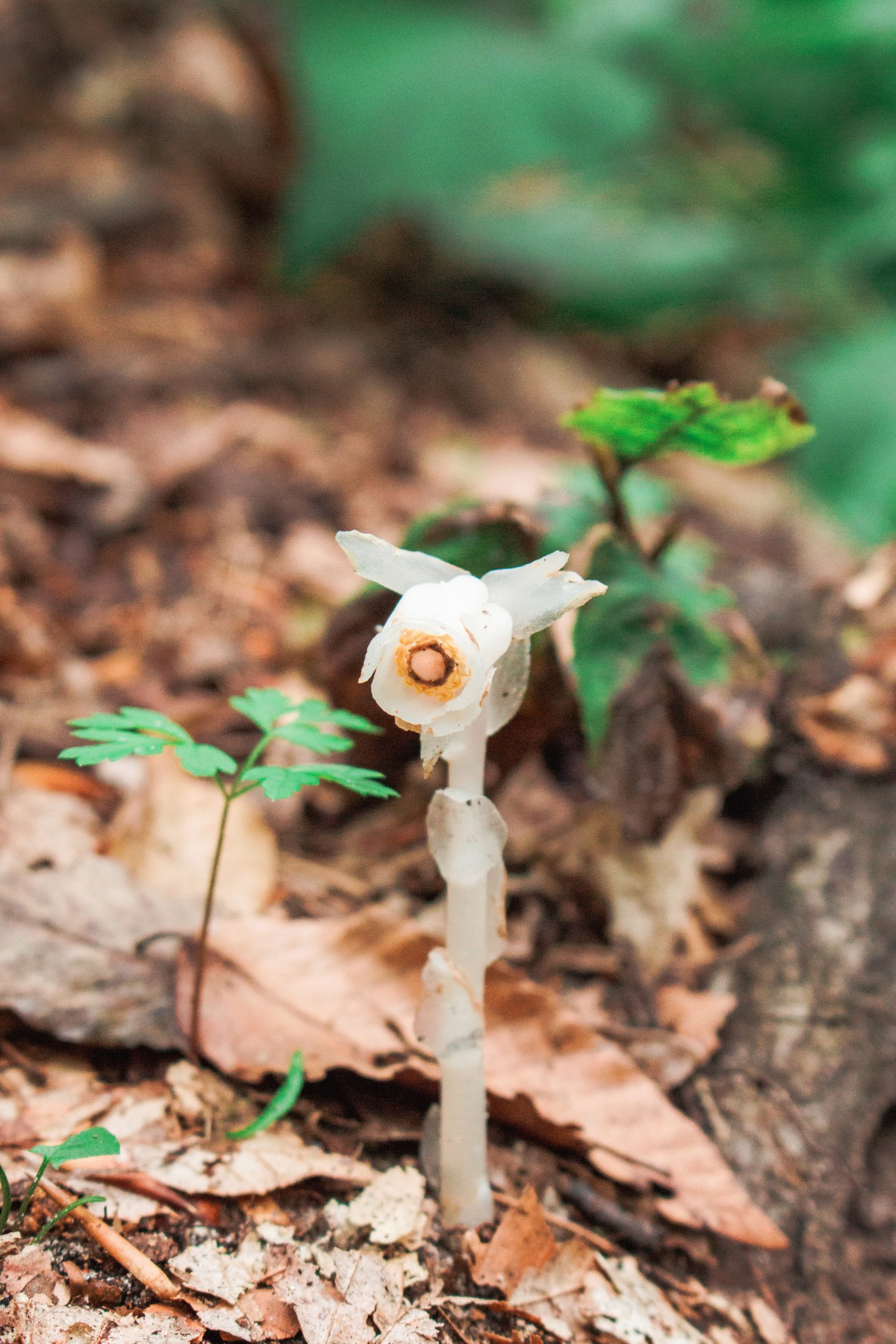 Indian PIpe (Monotropa uniflora) found on Old Baldy Trail