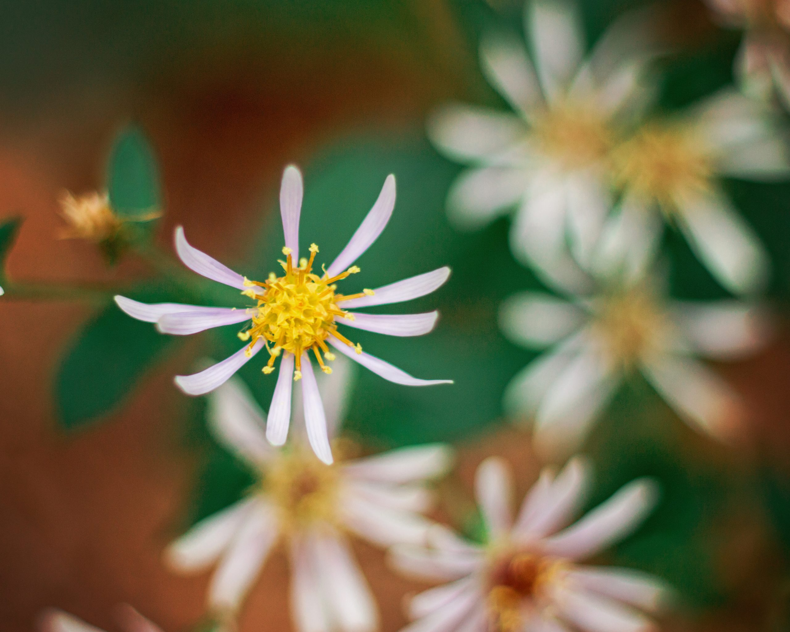 Aster-Smooth Aster laevis L.
